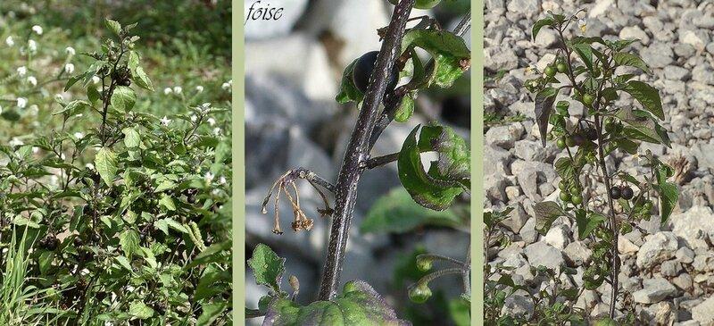 Tiges très ramifiées rameaux diffus + ou - érigés anguleux rudes ou tuberculeux