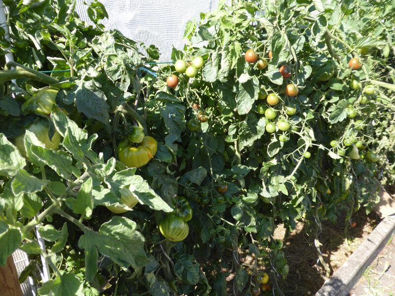 22-tomates (8)
