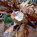 Bouchon de cèpe de Bordeaux parmi les feuilles...