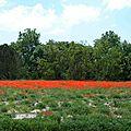 Végétal en Provence Champ de coquelicots - Fleurs sauvages
