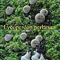 Lycoperdon perlatum