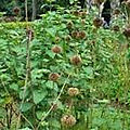 Feuille achou contre la tuberculose du grand maitre marabout sorcier sauveur papa safari tidiane: +229 63392531 tel/whatsapp