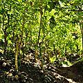 TAHA'A (Île Vanille) 05 - Champ de vanille
