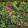 Rhododendrons La Flégère Lac Blanc (74)