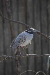 55-2 Yellow-crowned Night Heron Nyctanassa violacea