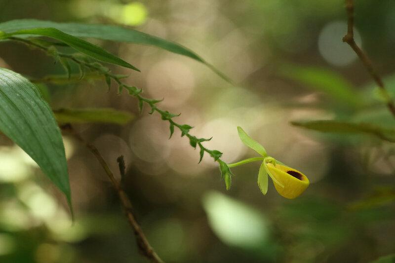 Selenipedium palmifolium