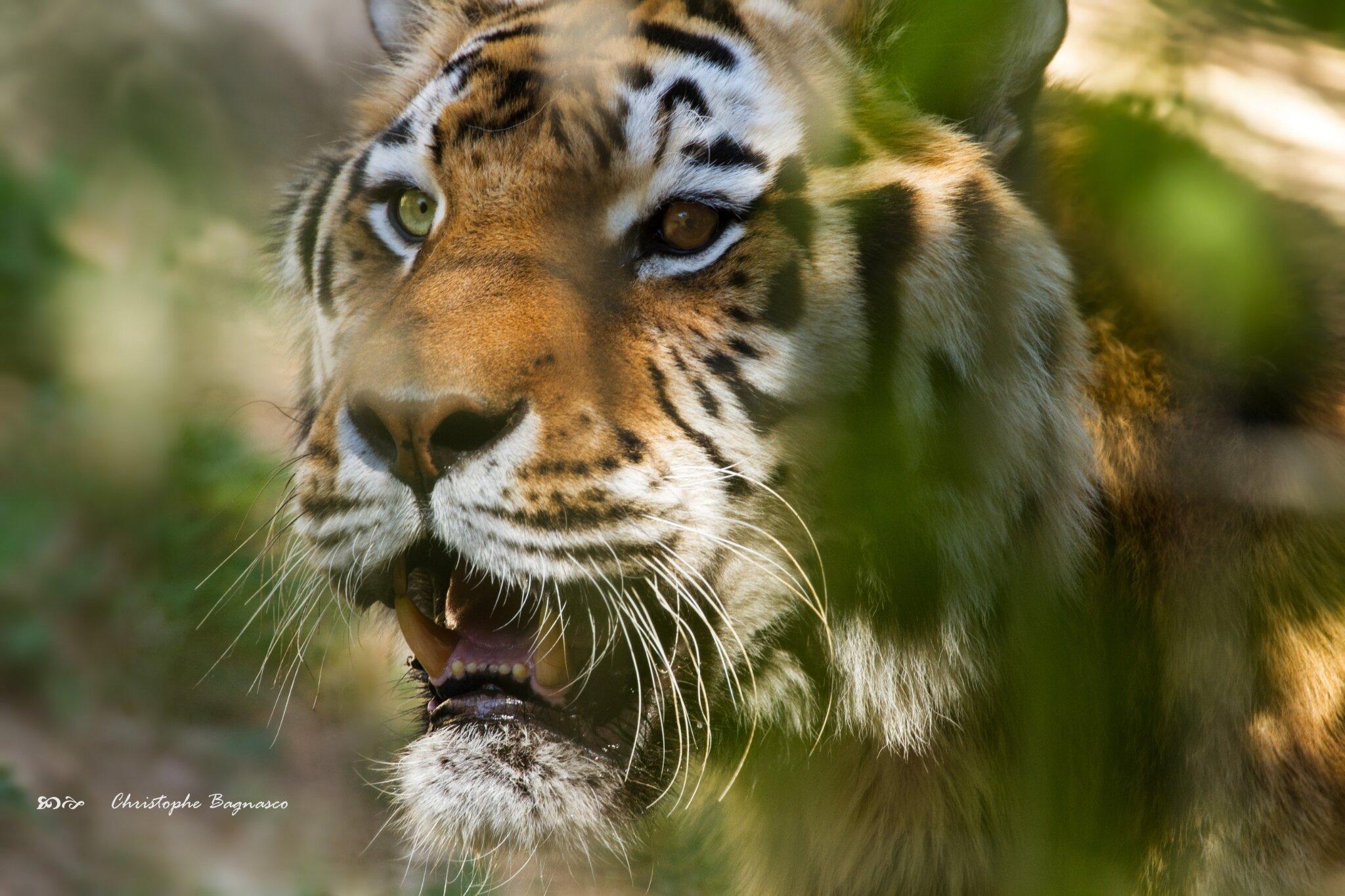Vairons et tigré