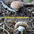 Hydnum repandum
