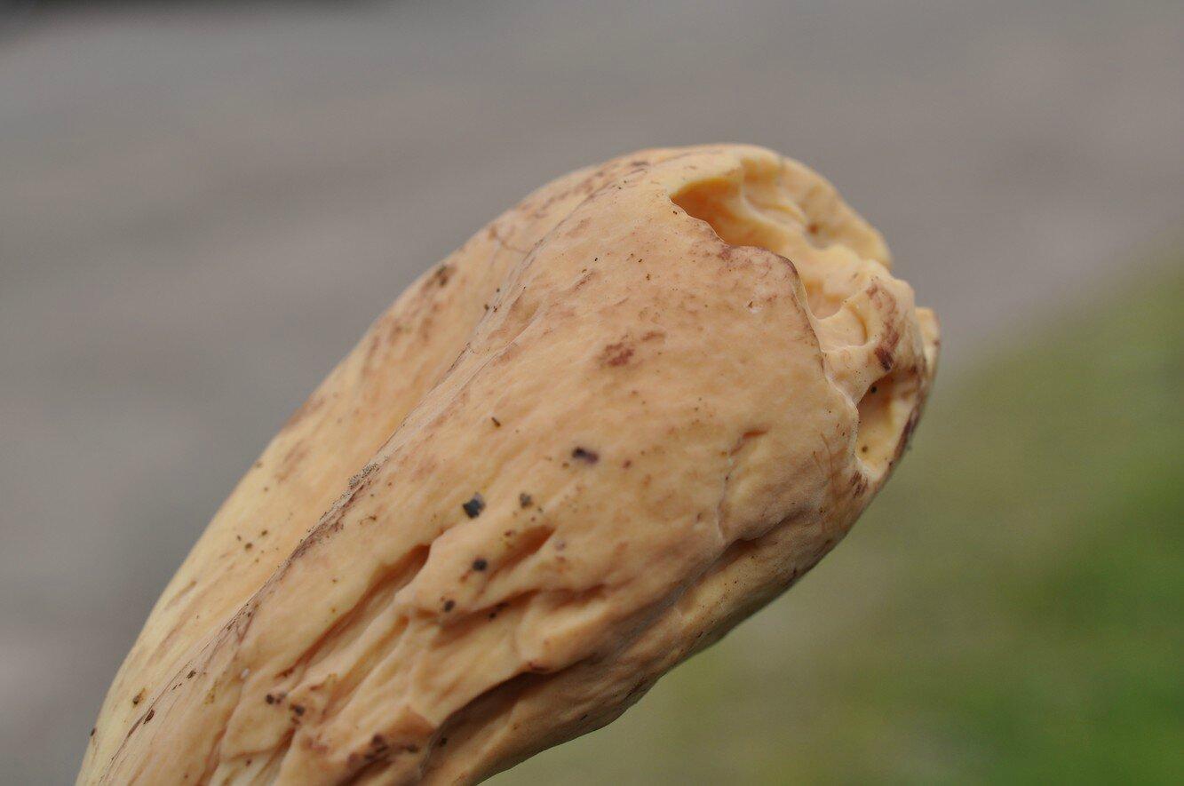 Clavariadelphus pistillaris (1)