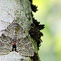 La Mariée - Catocala nupta (2)