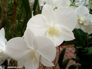 Phalaenopsis_White_Surprise