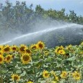 Tournesol irrigation