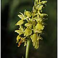 Orchis pâle : orchis pallens