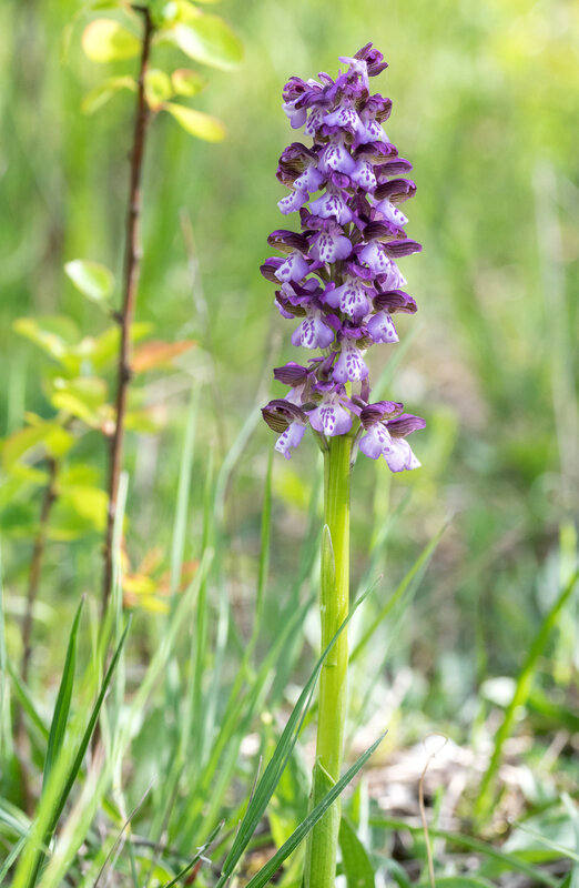 Orchis bouffon - Anacamptis morio (10)