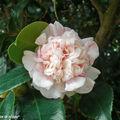 Camelia japonica sp. • Famille des Theaceae