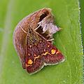 Les menthes sont les plantes hôtes de ces lépidoptères...