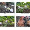2010 - avril. Les poules vont aux champs....