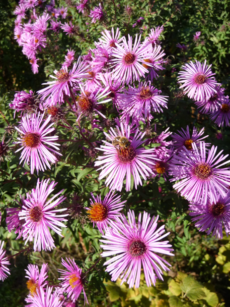 Asters 4