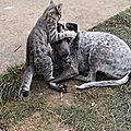 Pitou bb de Plazza et le chat