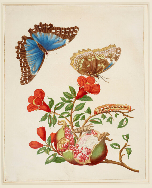 Merian_Royal-Collections