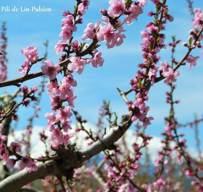Canigou et Pêchers en fleurs