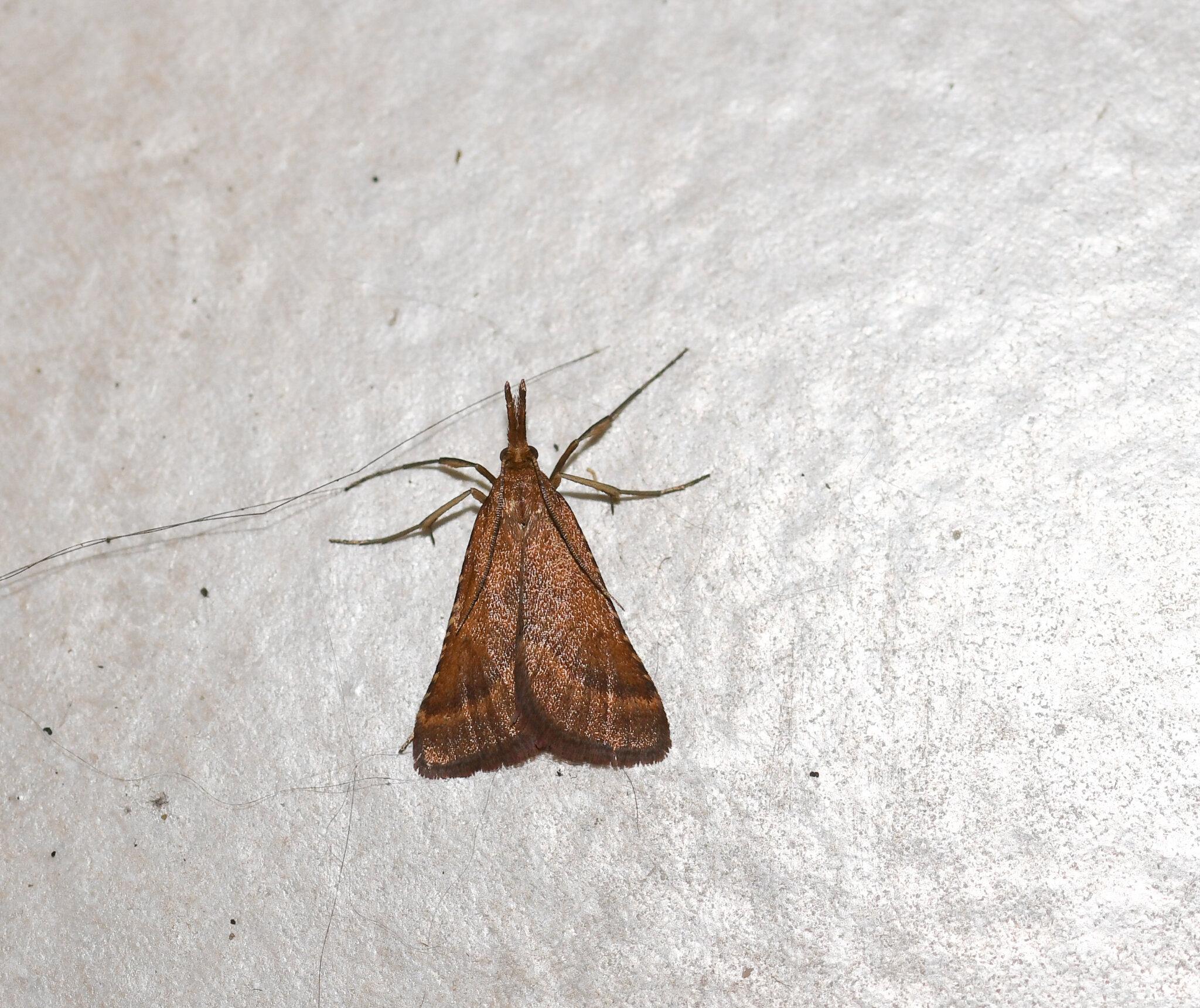 Clédéobie étroite - Synaphe punctalis (1)