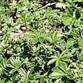 Alchémille à feuilles pliées