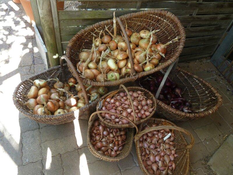 8-oignons et échalottes (2)