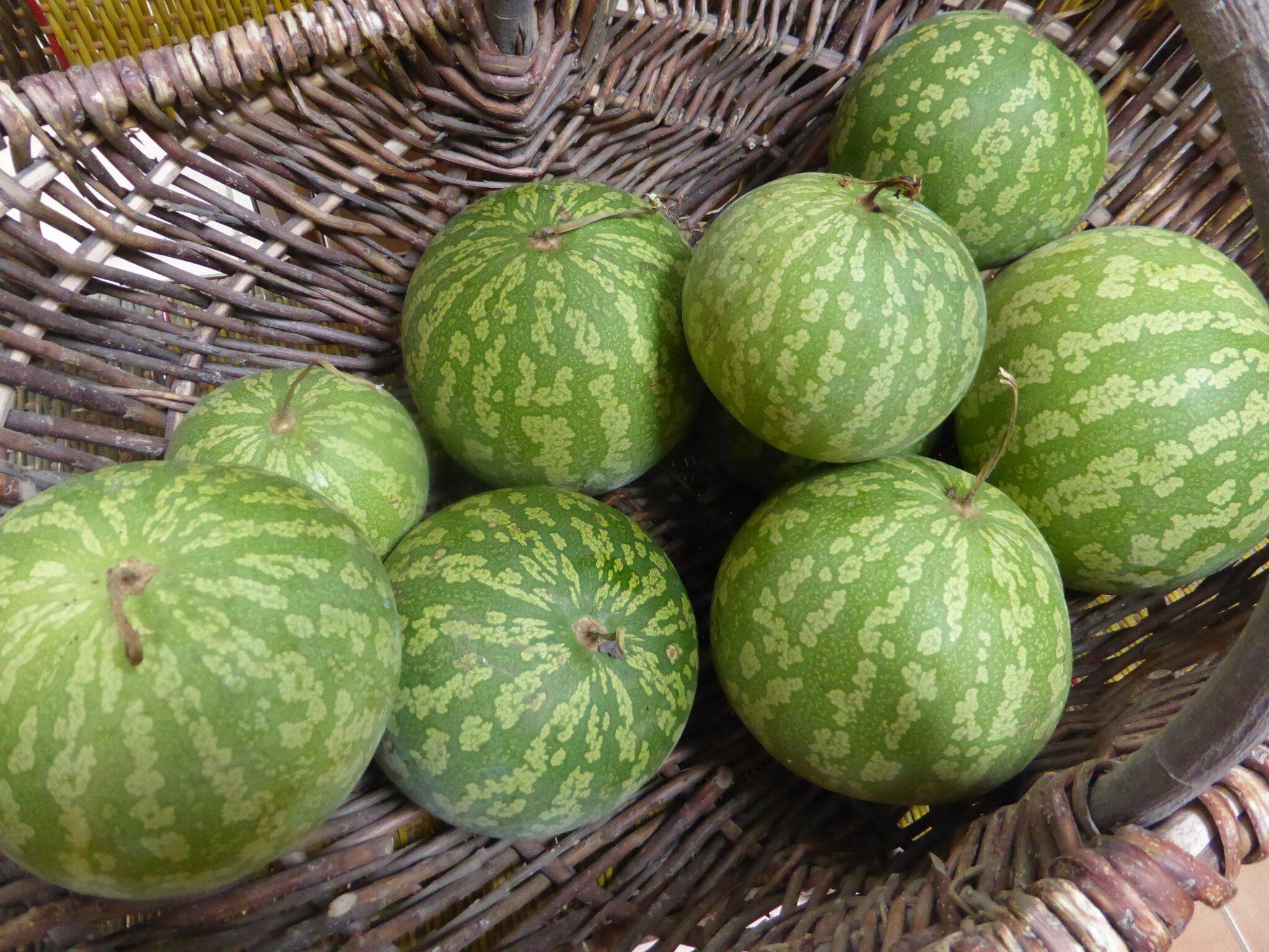 27 janvier - pastèque citre ou melon d'eau.surtout ne pas s'en