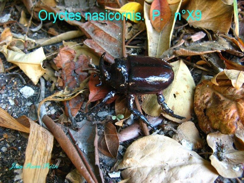 Oryctes nasicornis n° X9