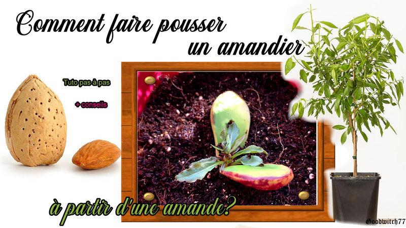 comment faire pousser un amandier amande almond tree how