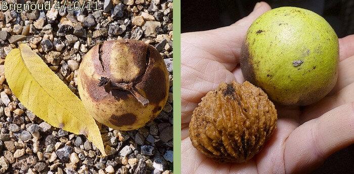 bogue jaune ou verte renfermant une noix de subglobuleuse à coque rugueuse très dure