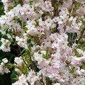 cerisier à fleurs