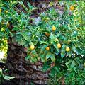 Grèce: Corfou 02 (Kumquats)