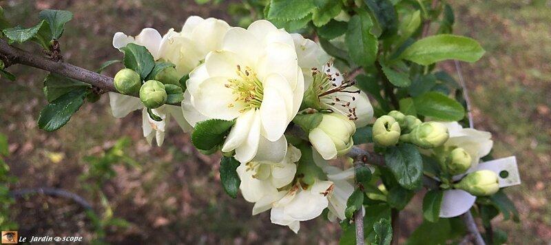 Cognassier-fleurs-blanches