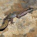 Saurodactylus brosseti2_XRu