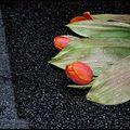 Dernières tulipes - cracovie