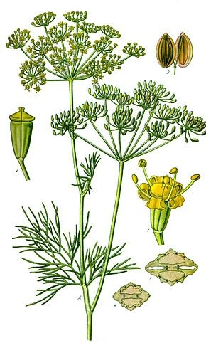 290px-Illustration_Anethum_graveolens_clean