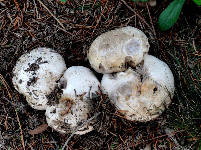 champignon-05923 (2)