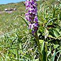 orchis moustique, gymnadenia conopsea...