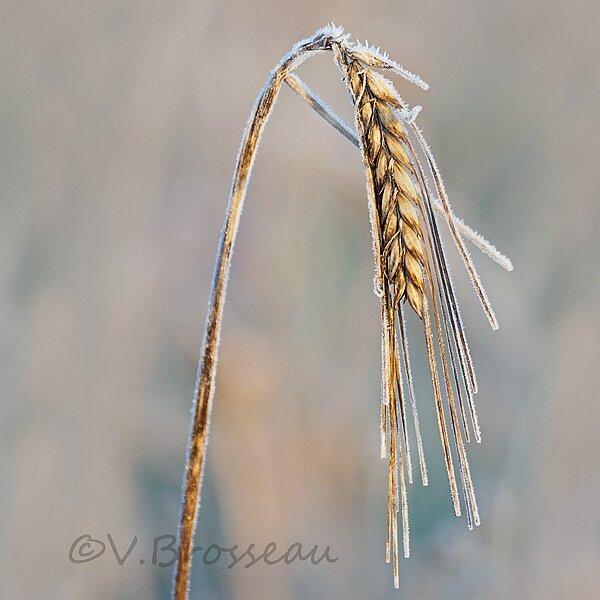 blé-hiver