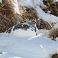 Lagopède alpin en sommeil