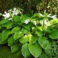 Floraison des hosta plantaginea