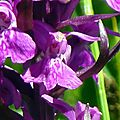 Orchis rouge sang ?