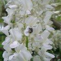 Le parfum des glycines attire aussi les insectes