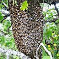 Des cueilleurs d'abeilles