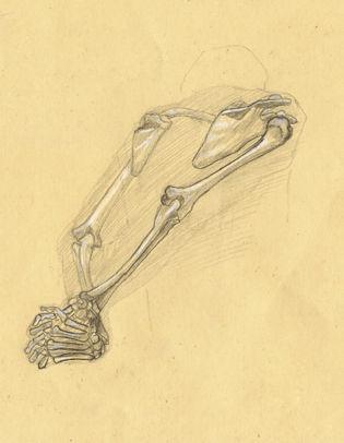 Ostéologie du bras 04 (Vue interne)