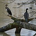 Grand Cormoran • Phalacrocorax carbo sinensis • Famille des Phalacrocoracidae