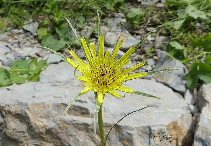 capitule solitaire d'environ 3 cm au début de la floraison