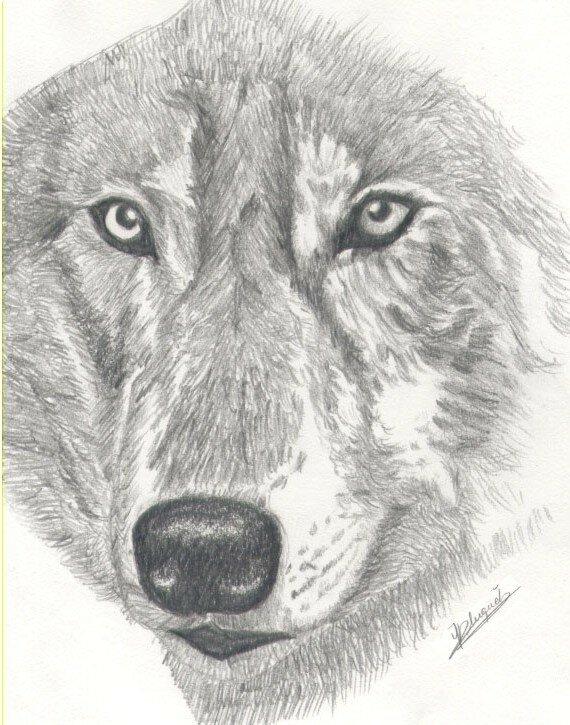 Sous le signe du loup angebleu - Tete de loup dessin ...